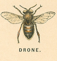 drone-male-bee-dron-origen