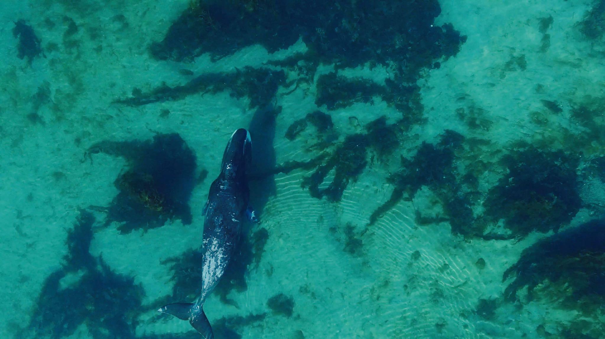 ballena-groenlandia-drone-video
